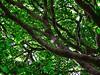 Skyward (LarryJay99 ) Tags: tree foliage canopy green branches leaves greenery nature skyward bark texture surface up upward