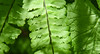 Fern in the Forest (maytag97) Tags: fern green leaves beautiful beauty color closeup natural bright macro nature freshness texture fresh shape plant spring leaf environment organic forest growth branch flora foliage botany abstract summer