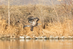 Bald Eagle fishing attempt 1 - 11 of 16