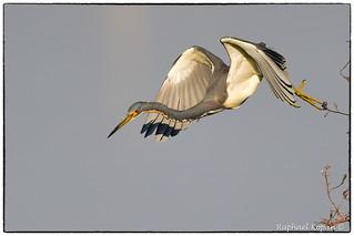 Tricolor Heron (EXPLORE, March 11, #95)