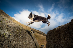 10/52 Come Fly with Me (JJFET) Tags: 10 52 weeks for dogs paddy border collie flying jumping dog