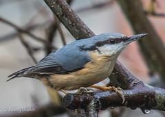 Streamlined (JKmedia) Tags: birds bird avian boultonphotography february 2018 garden nuthatch sittaeuropaea