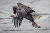 Eagle Fishing  B 2018 (The Back Road Photographer) Tags: birds baldeagle mississippi mississippiriver midwest fishing eagle wildlife raptor river talon richardcox 2018
