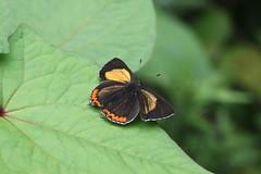 Heliophorus brahma Danjing Shan June 2017 (Aidehua2013) Tags: heliophorus brahma goldensapphire lycaenidae lepidoptera butterfly insect invertebrate danjingshan sichuan china