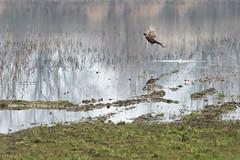 Faisan de Colchide 002 (Hturina) Tags: lesdombes envol faisan oiseau lapeyrouse rhônealpes france fr