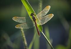 end of summer (gnarlydog) Tags: australia dragonfly backlit sunset warmlight eveninglight transparent wings texture closeup insect manualfocus vintagelens kodakanastigmat63mmf27 bokeh shallowdepthoffield subjectisolation