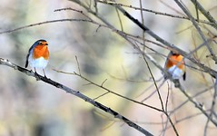 Stand-Off. (pstone646) Tags: birds robins nature animals wildlife fauna bokeh ashford kent feathers