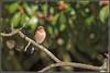 _DSC0066_Pinson des arbres (patounet53) Tags: commonchaffinch fringillacoelebs fringillidés passériformes pinsondesarbres bird oiseau