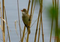 Singing bird (Jurek.P) Tags: birds bird trzciniak greatreedwarbler poland polska sonya500 jurekp nature