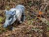 P1030194-1 (hawki2at33) Tags: 3d boar wild