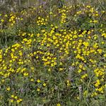 primrose monkeyflower, Erythranthe primuloides (=Mimulus primuloides) thumbnail