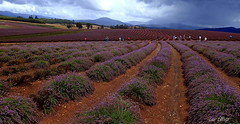 A BREAK IN THE WEATHER TO HAVE A LAVENDER FIELD PARTY (Lani Elliott) Tags: nature naturephotography scene scenic view landscape field lavenderfields bridestowelavenderestate purple moody people flowers sky mountain soil rows clouds scenictasmania beautiful fantastic superb awesome