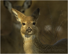 yearling whitetail (Christian Hunold) Tags: whitetaileddeer whitetailedbuck whitetail deer buck yearling mammal weiswedelhirsch johnheinznwr philadelphia christianhunold