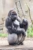 Silverback Gorilla Male (TGPhotography_au) Tags: pentaxk1 pentax k1 pentaxdfa150450zoom tarongazoo animals birds tiger meerkat g