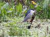 Rapt Attention -- Black-crowned Night-Heron (Nycticorax nycticorax); Corkscrew Swamp Sanctuary, FL [Lou Feltz] (deserttoad) Tags: nature trees swamp florida bird wildbird heron wader behavior preserve
