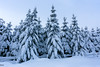 Snowy Pines (MikeWeinhold) Tags: pines trees snow winter 6d 1740mm