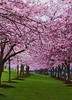 Spring has sprung in Portland! (F-StopScott) Tags: spring portland trees blossoms oregon