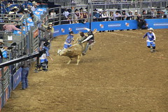 IMG_2674 (melodavis@sbcglobal.net) Tags: rodeohouston 2018 rodeo livestock heifer farmlife steer saddlebronc bronc bull bullriding calfscramble alpaca