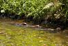 Otter (Mark Harris photography) Tags: otters smallclawed asiansmallclawedotters singapore animal cuteness water cute otterly