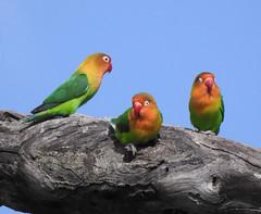 Fischer's Lovebirds (David Bygott) Tags: africa tanzania ngorongoro nca ndutu fischerslovebird