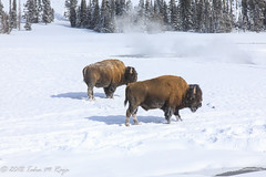A Pair of BUffalo in the snow (taharaja) Tags: bison buffalo geysers hotsprings national oldfaithful park snowmobile westyellowstone winter wonderland wyoming yellowstone deer elk falls firehole gardiner gibons idaho lake madison mammoth montana pahaska prismatic snow thermalpool westthumb
