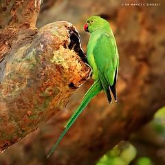 Rose-ringed parakeet. (MCSindagi) Tags: sony sonyindia sonyrx10iv sonyrx10m4 rx10iv rx10m4 rx10 bengaluru bangalore parakeet roseringedparakeet birds indianbirds karnataka telephoto