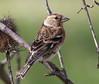 08 03 2018 (cathyk31) Tags: brambling fringillamontifringilla fringillidés passériformes pinsondunord bird oiseau
