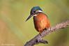 Martin pescatore _049 (Rolando CRINITI) Tags: martinpescatore uccelli uccello birds ornitologia castellapertole natura