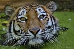 Aus den tiefen der Festplatte.... (wernerlohmanns) Tags: natur nikond7000 outdoor gefährlich groskatzen tiger sibirischetiger sigma120400 schärfentiefe zoo deutschland duisburgerzoo fleischfresser