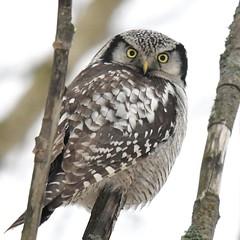 Surnia ulula (kaius.artimo) Tags: surniaulula northernhawkowl hiiripöölö espoo