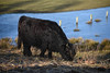 Hochlandrind (thomas druyen) Tags: hochlandrind schottland gras tier rind fell schwarz natur naturschutzgebiet deutschland weeze holz waser heeserschläge niederrhein