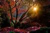 Backlit tree (rdpe50) Tags: tree backlit sunburst foliage fall fallcolours redleaves maple bearcreekpark surrey bc
