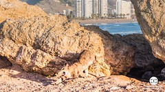 Cats in Valencia Spain 1058 (vivvismak) Tags: cullera espaa fall landscape people spain spring summer valencia wildlife winter beach beachlife blue calm calmness coast goodlife green happiness happy holidays lifestyle light mediterranean mediterraneansea mindful nature orange pleasant surfer surfing wave red reflection relax relaxation romance romantic sand sea sun sunrise sunset travel traveltospain vacation wisdom yellow cat cats animals p1058