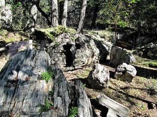 photo - Robert Louis Stevenson Tree, Petrified Forest, Ca