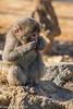 Japanese macaque (The Aquanaught) Tags: arashiyama walking animals japanesemacaque holiday japan macacafuscata