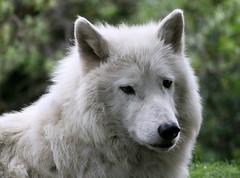 The Wolf is Loose (Ger Bosma) Tags: 2mg110480 canis lupus gray wolf timber true western loup gris commun vulgaire lobo lupo grigio white fur head portrait mastodon thewolfisloose