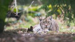 Clocked ya (The Wasp Factory) Tags: eurasianlynx lynx eurasischerluchs nordluchs luchs lynxlynx tierparksababurg tierpark sababurg wildpark wildlifepark