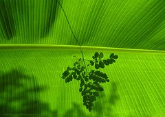 FALLEN ! (GOPAN G. NAIR [ GOPS Creativ ]) Tags: gopsorg gopangnair gops gopsphotography gopan photography leaves leaf green greenery texture plantain banana kerala