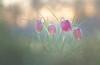Gang of flowers (donlope1) Tags: macro nature light flower flora fritillaria bokeh dof sunrise spring proxy