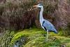 20180309 - Heron on Llyn Elsi walk - 131643 (andyshotts) Tags: heron
