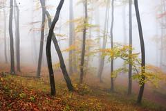Foggy forest - Nebelwald (lukasthiess) Tags: buche buchenwald bäume deutschland flora freiburg herbst lebensräume stimmungen