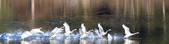 OH NO!  THE TRUMPETER SWANS ARE LEAVING  MILL LAKE,  ABBOTSFORD,  BC. (vermillion$baby) Tags: milllake abbotsford reflection swans bird birdflickr flight water bc fraservalley beautifulbc