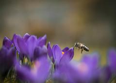 Seasonal Worker (ursulamller900) Tags: helios442 krokus crocus bee biene mygarden bokeh purple