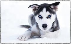 "Husky Puppy ""Non stop Eagle"" (ラルフ - Ralf RKLFoto) Tags: lumixexperience lumix g9 panasonic sportgastein husky puppy dog hund schlittenhunderennen schnee snow blue eye austria"