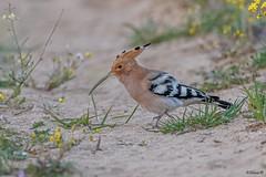 Hoopoe (Dave 5533) Tags: hoopoe bird wild nature upupa outdoor upupaepops naturephotography wildlifephotography birdsinisrael canoneos1dx canonef300mmf28 dmslair