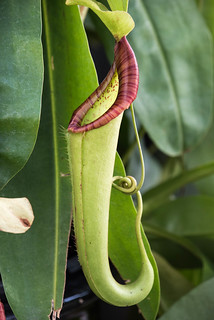 a tropical pitcher plant (Nepenthes)