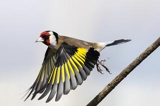 Cardellino - Goldfinch