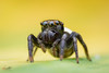 IMG_1227 (Le Anh The) Tags: jumpingspider black background color nature insects face eyes macro extreme extensiontube explore tiny flash macrophotography diffuser
