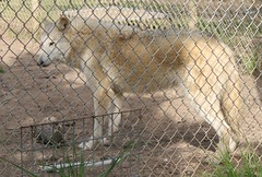 "wolf 9 (Harris County Public Library) Tags: harriscountypubliclibrary hcpl kingwoodbranchlibrary ""harris county fun4seniors"" outreach ""saint francis wolf sanctuary"" wolves"