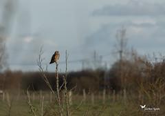 Hibou des marais Asio flammeus • Hibou brachyote (JM AVOCETTE) Tags: animaux asioflammeus aves birds hiboudesmarais oiseaux shortearedowl strigidae strigidés strigiformes